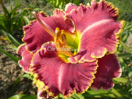 Лилейники Spasecoast Surprise Purple фото